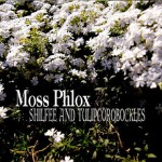 Moss Phlox / SHILFEE AND TULIPCOROBOCKLES